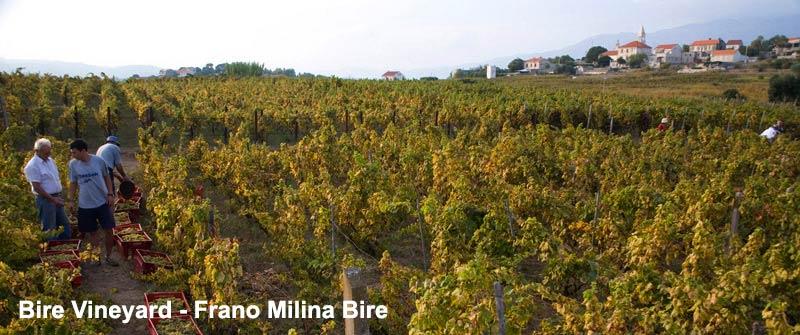 BireWinery, white wine grk, lumbarda vineyard